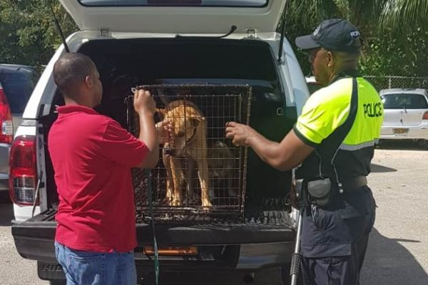 DOA and Community Police Officers Seize Strays in George Town, 8 March