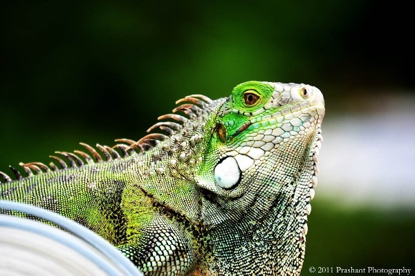 RCIPS Informs of Firearms Licensing Procedures for Registered Cullers in the DOE Green Iguana Cull