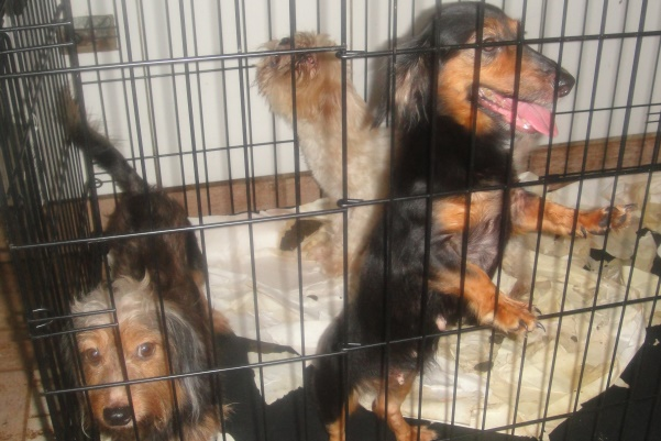 Of the dozens of dogs on the property, several were of purebred or mixed breeds.